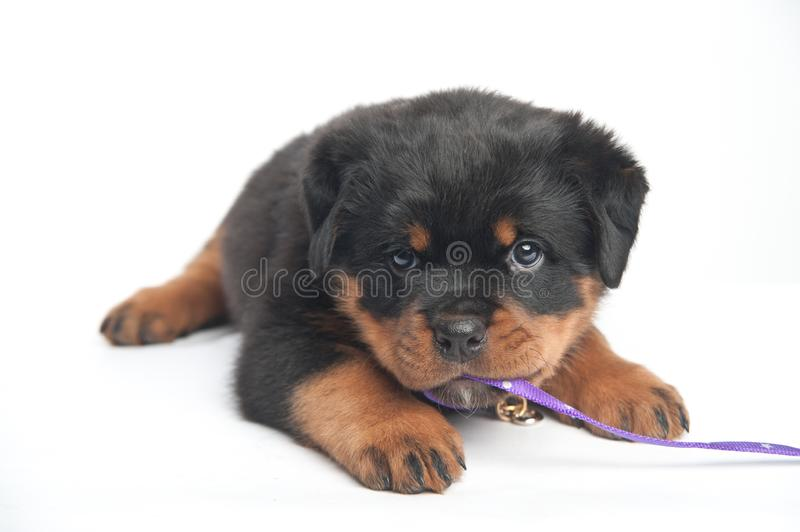 Cute one rottweiler puppy in a studio on a white background royalty free stock images