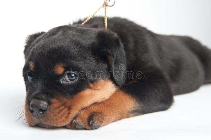 Cute one rottweiler puppy in a studio on a white background royalty free stock photography