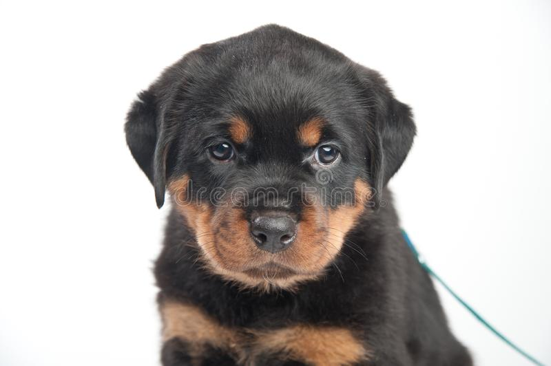 Cute one rottweiler puppy in a studio on a white background stock image