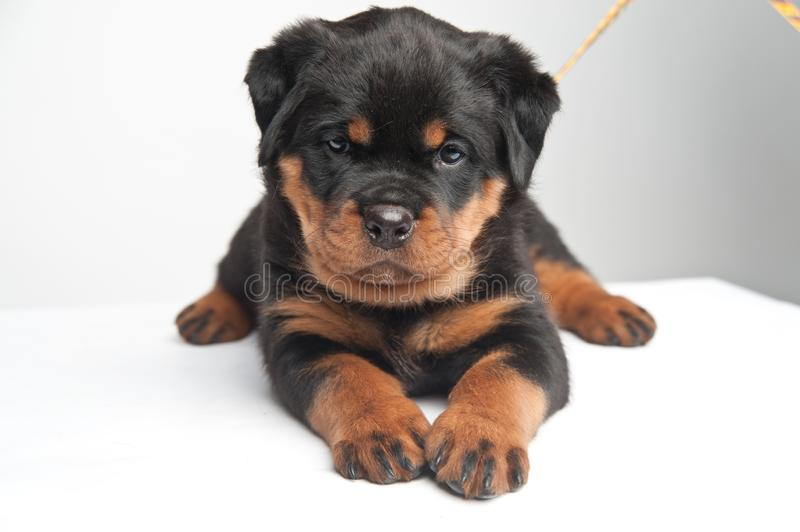 Cute one rottweiler puppy in a studio on a white background stock photo