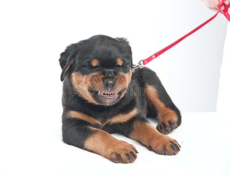 Cute one rottweiler puppy in a studio on a white background royalty free stock photo