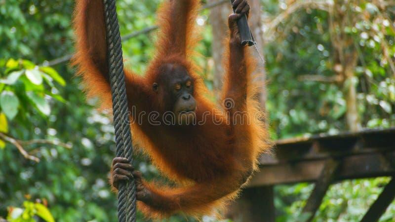 Cute Orang Utan swinging on the rope in Sepilok stock photo