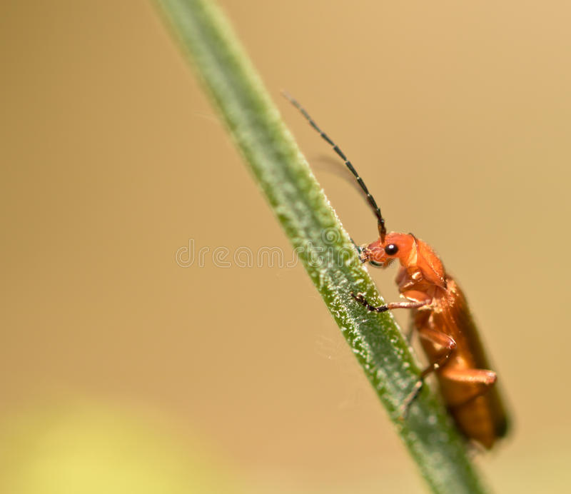 Cute orange bug climbing on plant stem in springtime stock photo