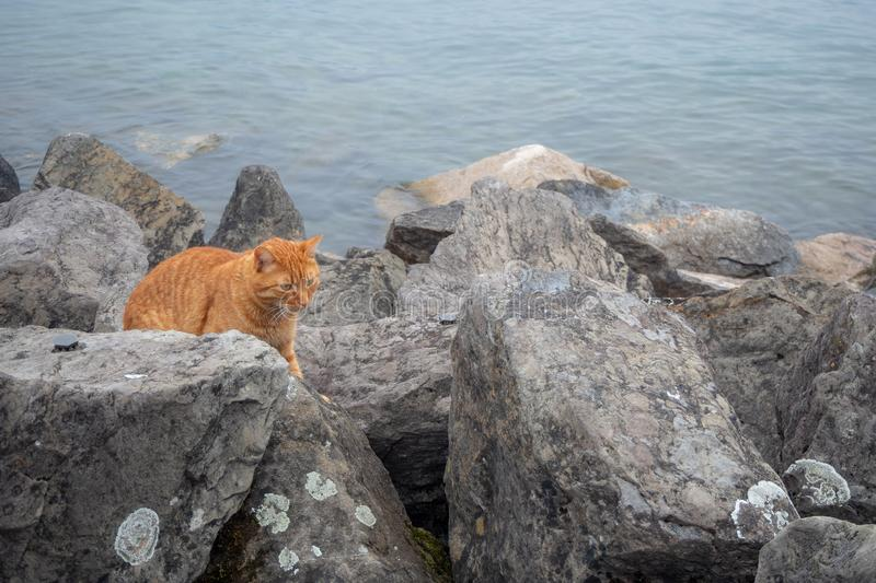 Cute orange cat climbing on the rocks beside the lake stock photo