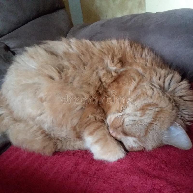 Cute orange cat curled up. Hhappy stock photography