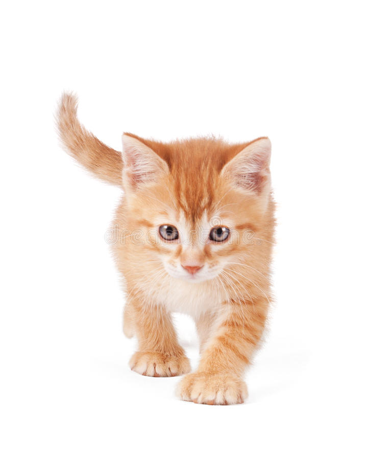Download Cute Orange Kitten With Large Paws Royalty Free Stock Photography - Image: 24481857