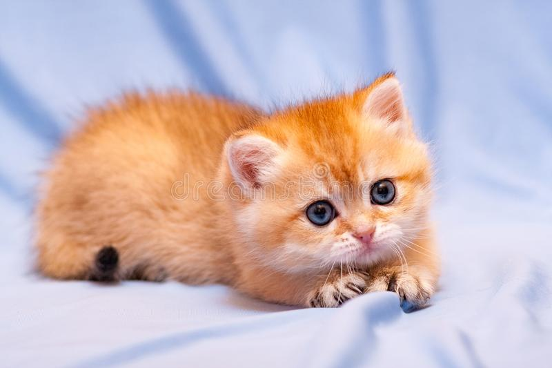 Cute orange kitten lying on a blue background pulling out her claws. And looks at the camera with a charming look stock images