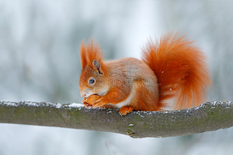 Cute orange red squirrel eats a nut in winter scene with snow, Czech republic. Wildlife scene from snowy nature. Animal behaviour. Cute orange red squirrel eats stock photography