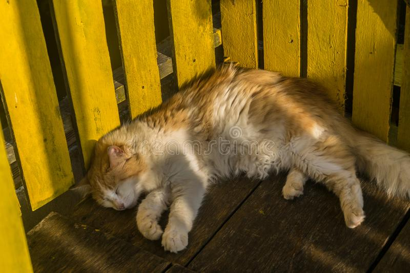 A cute orange and white cat is taking a nap on a wood floor leaning its back in a yellow wood fence, the day light royalty free stock photography