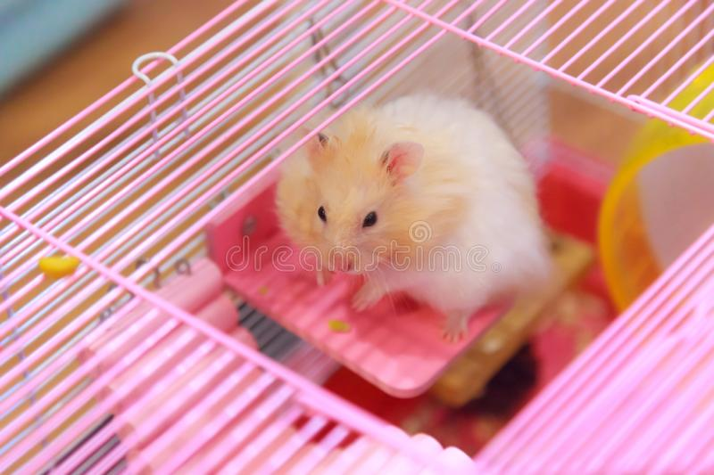Cute Orange White Syrian or Golden Hamster Mesocricetus auratus climbing on wooden panel deck attached on cage, begging owner fo. R food. Human pet friend royalty free stock images