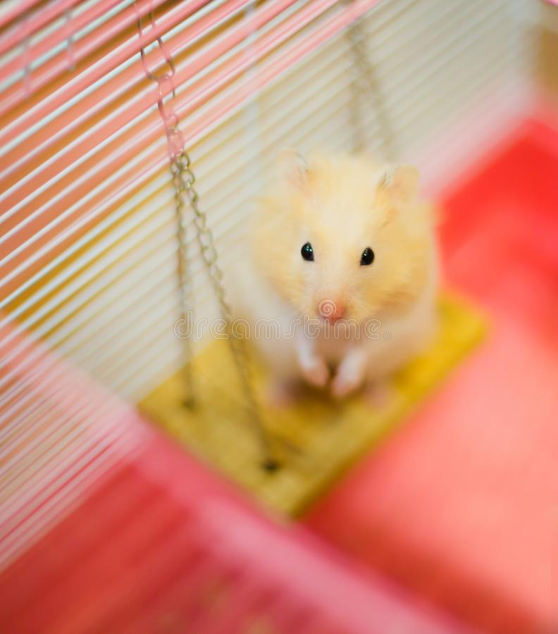 Cute Orange and White Syrian or Golden Hamster Mesocricetus auratus stands on two hind legs on the swing, begging owner for food royalty free stock photography