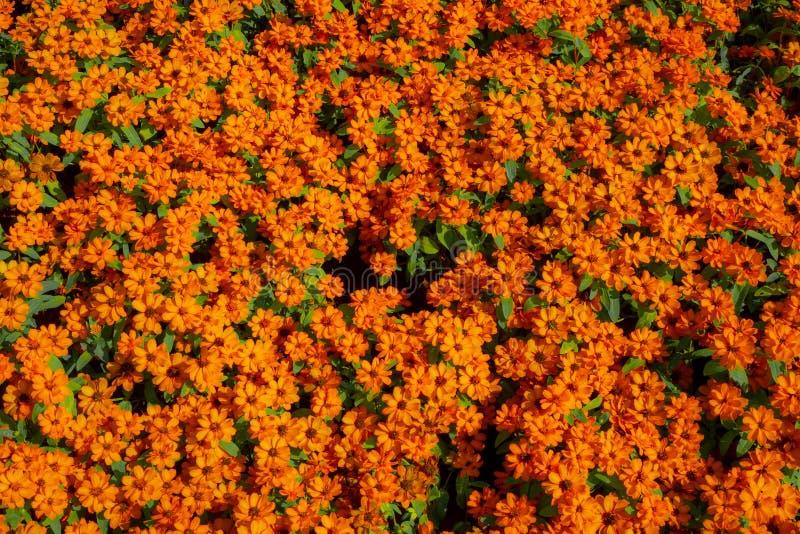 Cute orange zinnia flowers royalty free stock photos