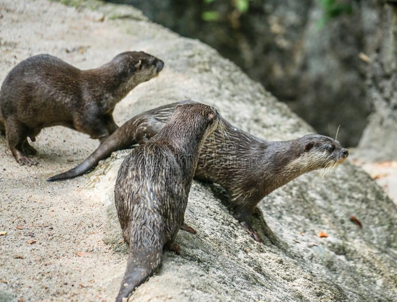 Cute oriental small-clawed otter image of. Shooting location :  Singapore royalty free stock image