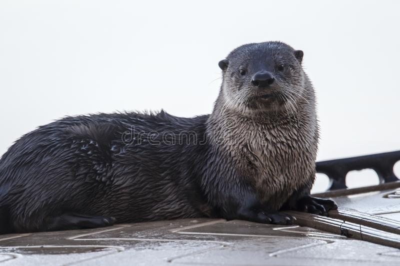 Cute otter looks at camera. stock photos
