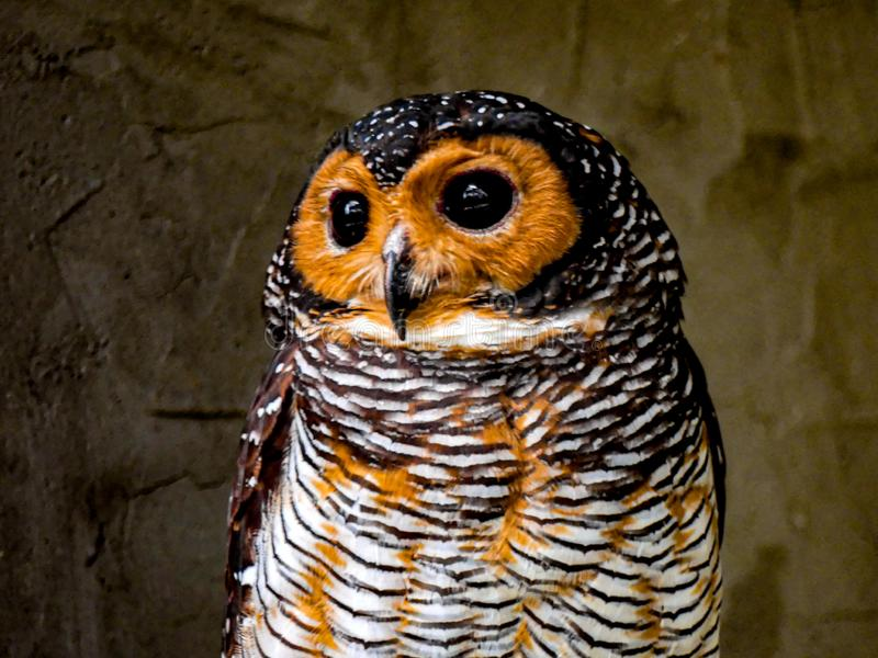 Cute Owl Orange Bird Malaysia royalty free stock images