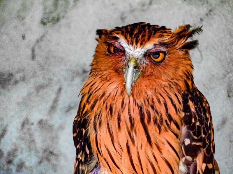 Cute Owl Orange Bird Malaysia. Fe royalty free stock images