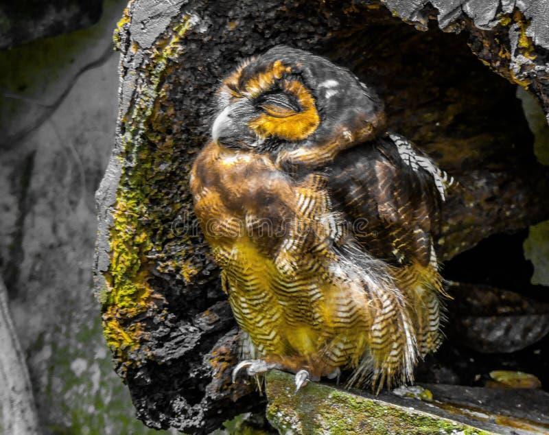 Cute Owl sunny day malaysia stock afbeeldingen