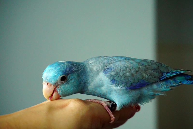 Cute Pacific Parrotlet bites, Forpus coelestis. Blue bird parrot stock photography