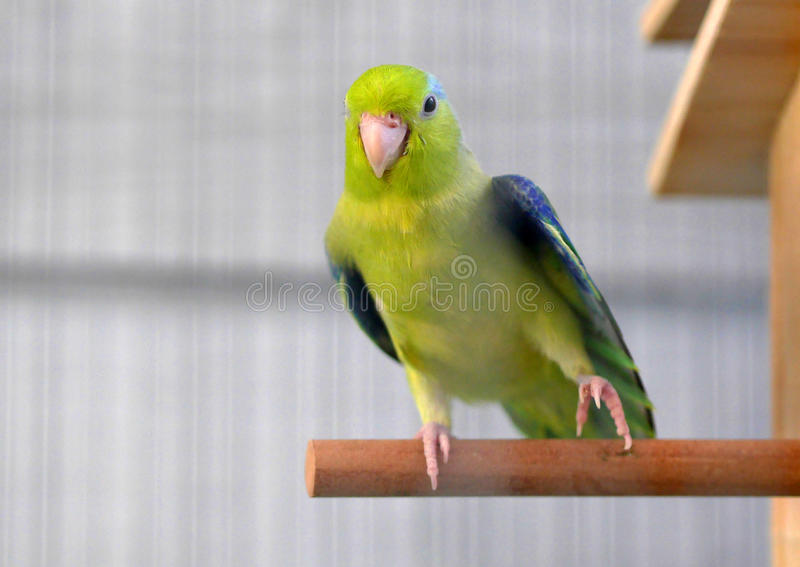 Cute Pacific Parrotlet Green Forpus. In Thailand stock photography
