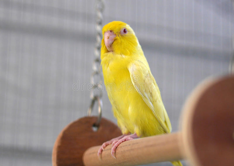 Cute Pacific Parrotlet Yellow Forpus. In Thailand royalty free stock photos