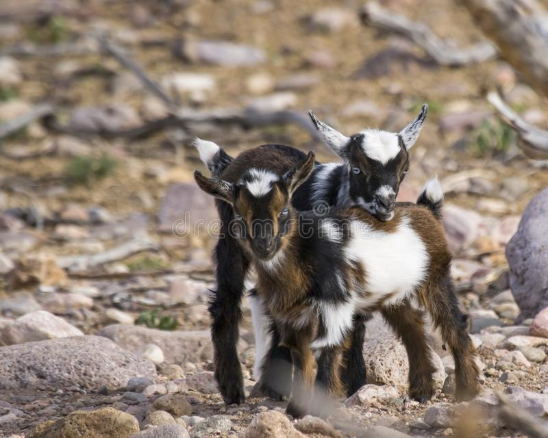 Cute pair of juvenile goats royalty free stock images