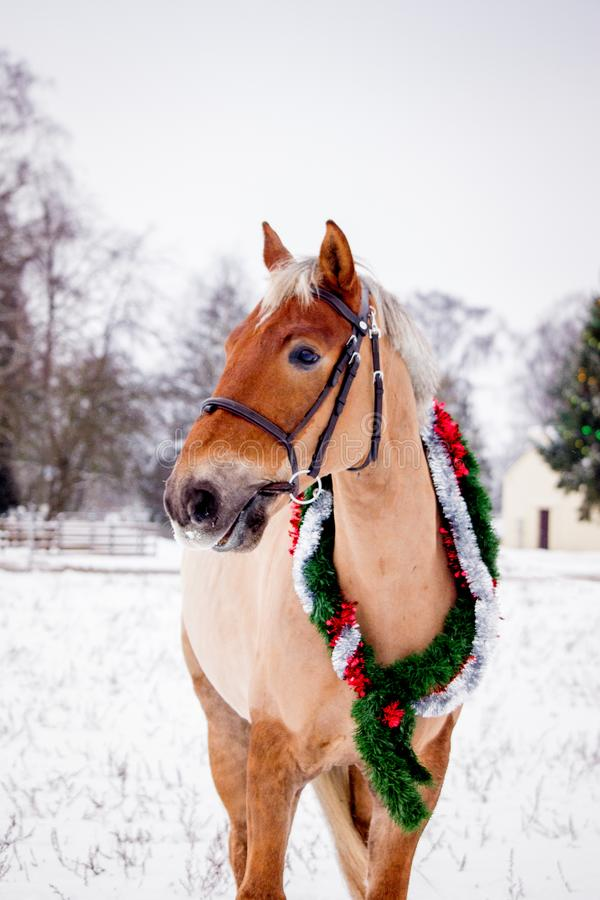 Cute palomino horse portrait in winter. Scenery royalty free stock photos
