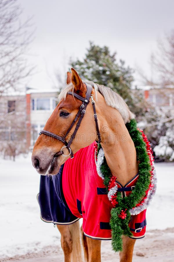 Cute palomino horse portrait in winter. Scenery royalty free stock photography