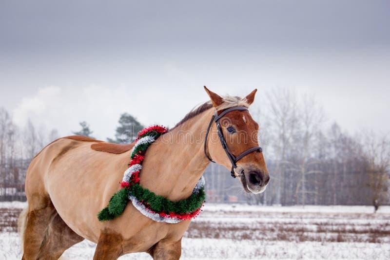 Cute palomino horse portrait in winter. Scenery stock photos