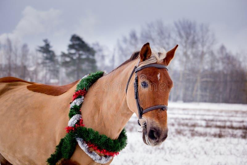 Cute palomino horse portrait in winter. Scenery stock image