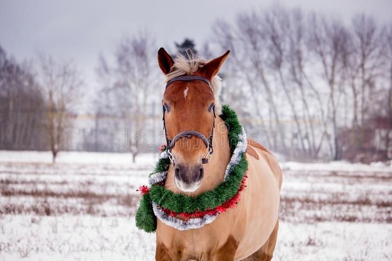 Cute palomino horse portrait in winter. Scenery royalty free stock image
