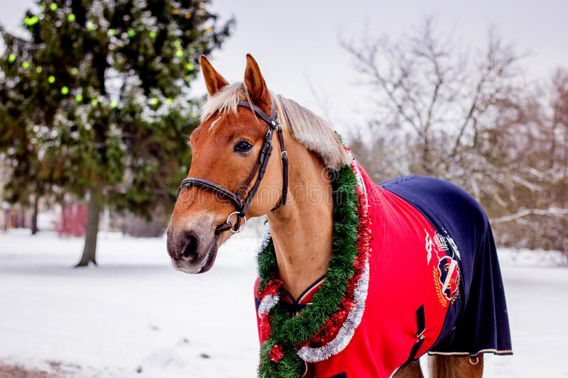 Cute palomino horse portrait in winter. Scenery royalty free stock images