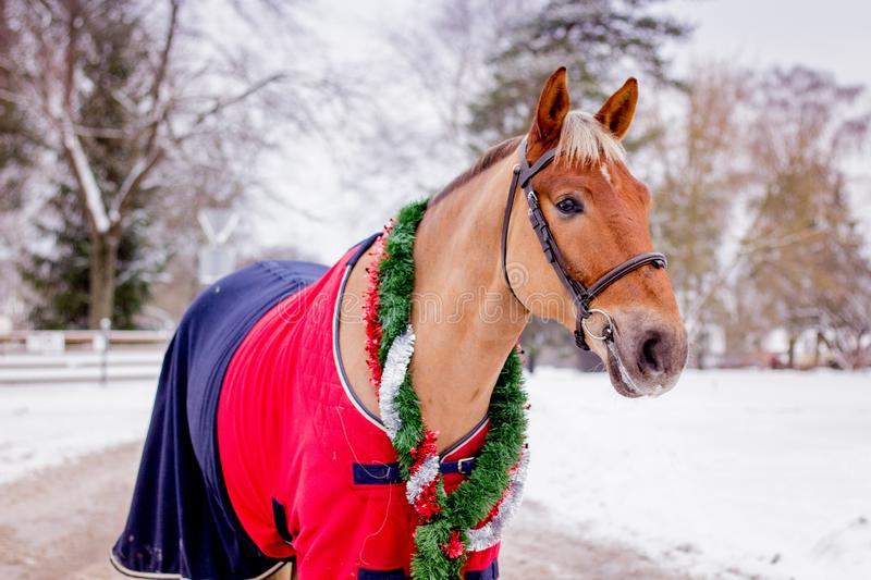Cute palomino horse portrait in winter. Scenery stock images