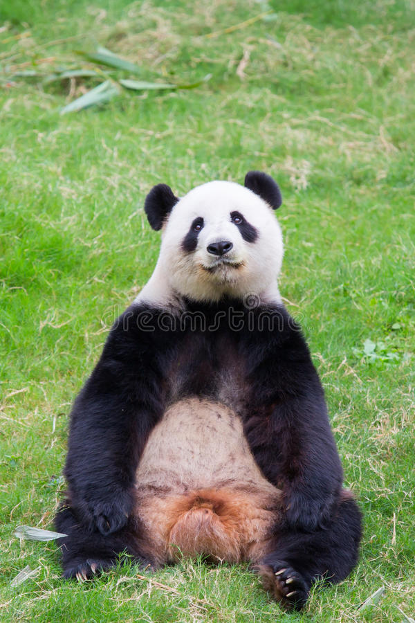 Download Cute Panda Bear Stock Image Of Adult Hungry Background