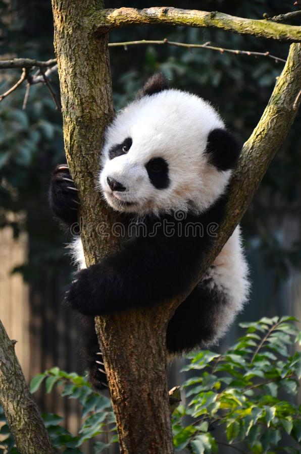 Cute panda kung fu panda Ailuropoda melanoleuca zoo protection animal wilde stockfotos