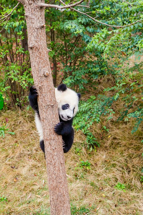 Cute panda kung fu panda Ailuropoda melanoleuca zoo protection animal wilde stockbild