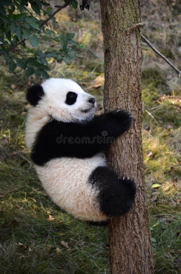 Cute panda kung fu panda Ailuropoda melanoleuca zoo protection animal wildlife royalty free stock images