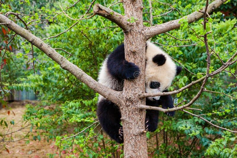 Cute panda kung fu panda Ailuropoda melanoleuca zoo protection faune photo libre de droits