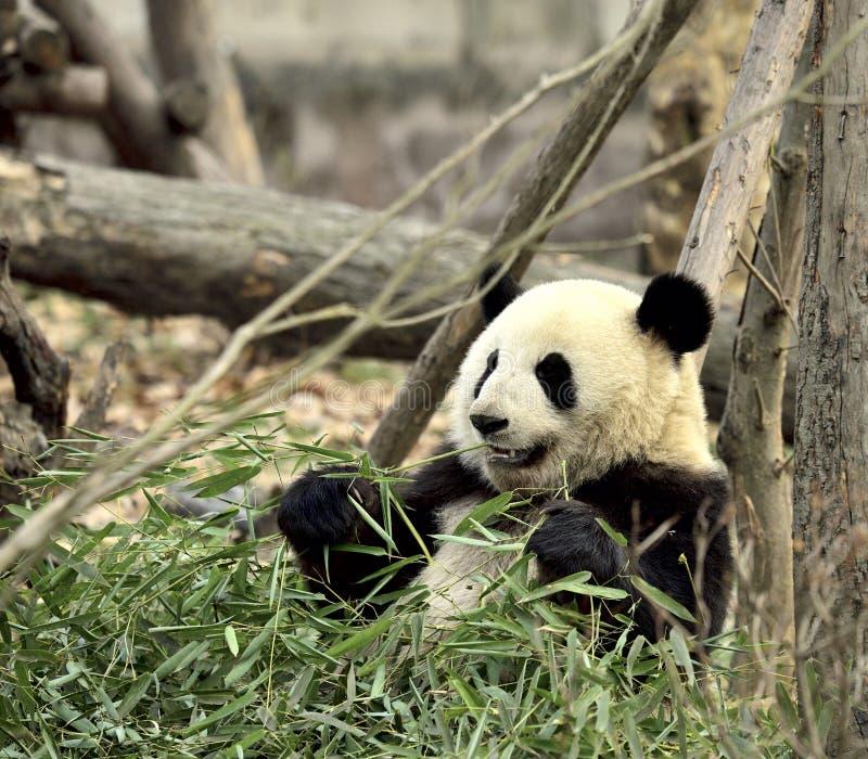 Cute panda kung fu panda Ailuropoda melanoleuca zoo protection faune photographie stock libre de droits