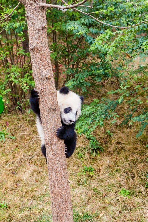 Cute panda kung fu panda Ailuropoda melanoleuca zoo protection faune image stock