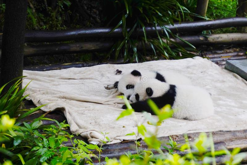 Cute panda kung fu panda Ailuropoda melanoleuca zoo protection faune photo stock