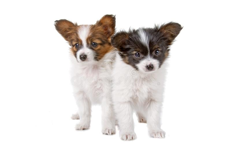 Cute Papillon puppies stock images