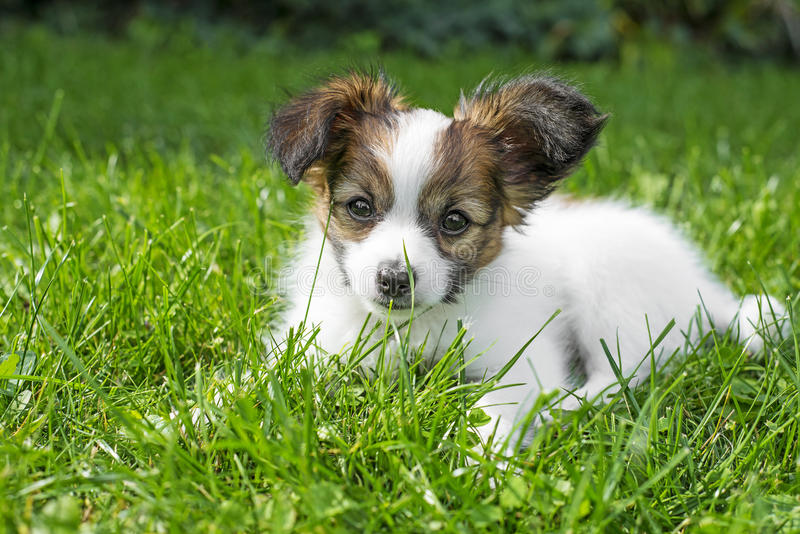 Cute papillon puppy royalty free stock photos