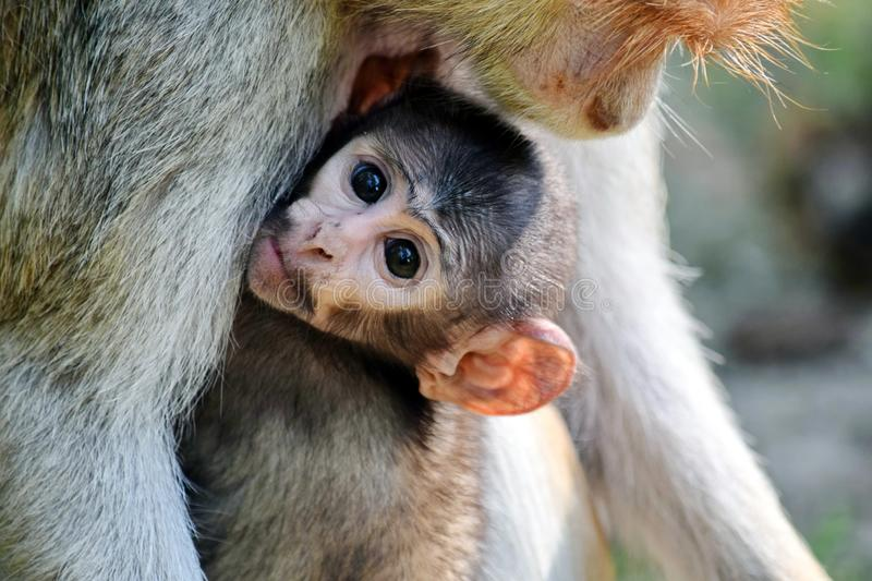 Cute Patas Monkey Baby holding her Mom stock photo