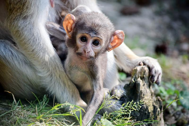 Cute Patas Monkey Baby holding her Mom stock image