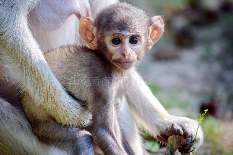 Cute Patas Monkey Baby with Mom royalty free stock photography