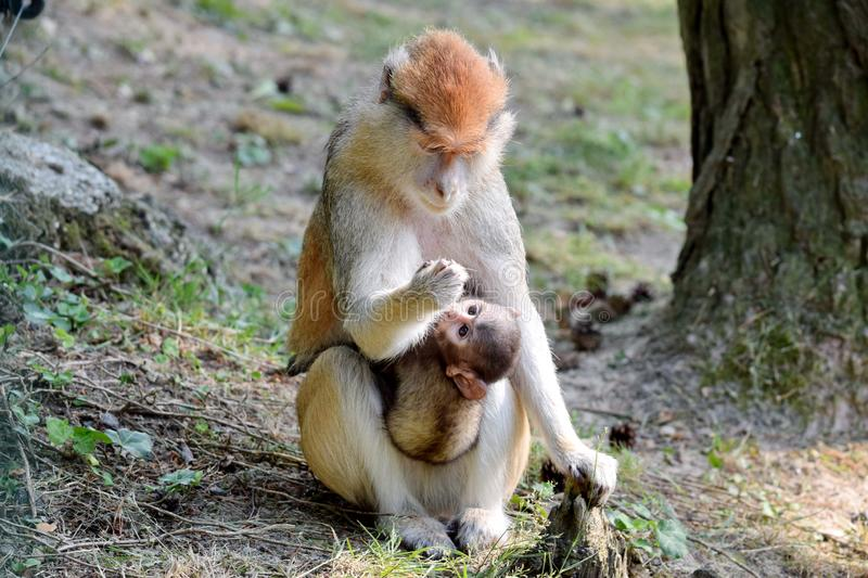 Cute Patas Monkey Mom with Baby stock photos