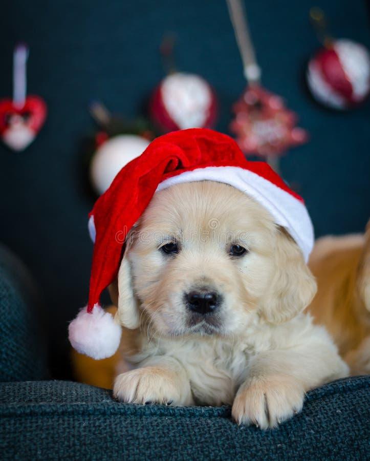 Cute pedigree xmas puppy Loving christmas fotografering för bildbyråer