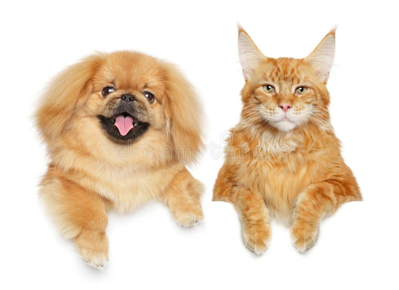Cute Pekingese puppy above banner stock photography