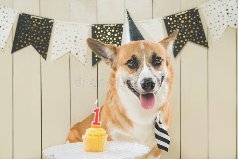 Cute pembroke corgi wearing birthday hat and festive cupcake.  stock image