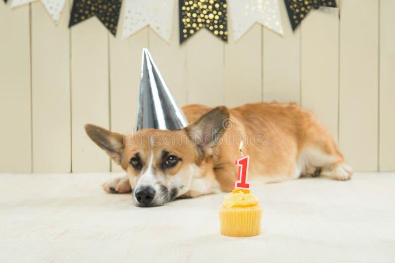 Cute pembroke corgi wearing birthday hat and festive cupcake.  stock photo